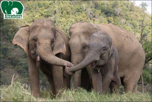 Happy elephants at the Elephant Nature Park in Chiang Mai