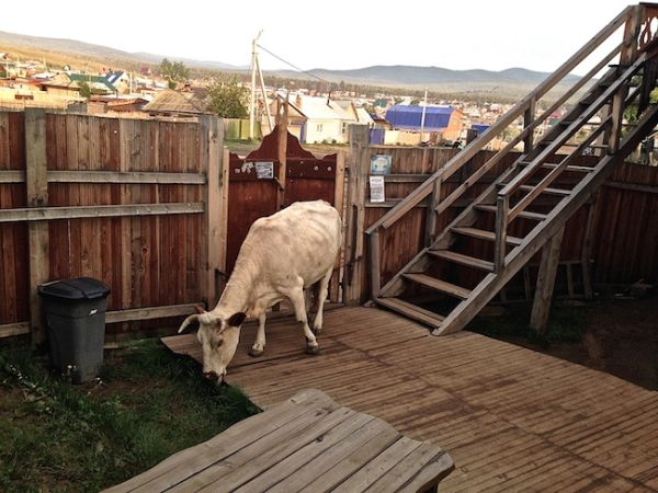 Cow roaming free in our homestead in Lake Baikal