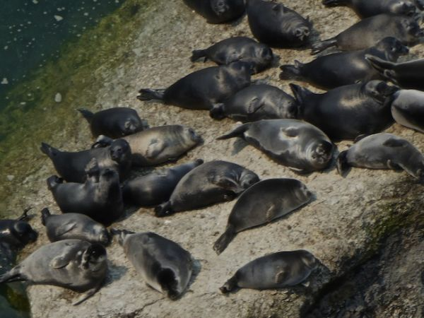 D'autres phoques font la bronzette sur le lac Baïkal