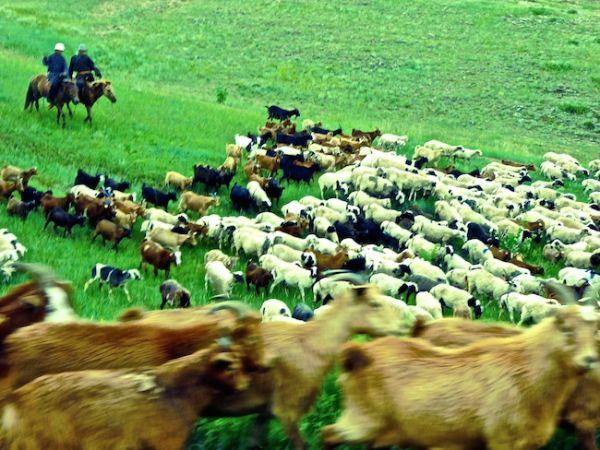 Mongolian goats and sheep