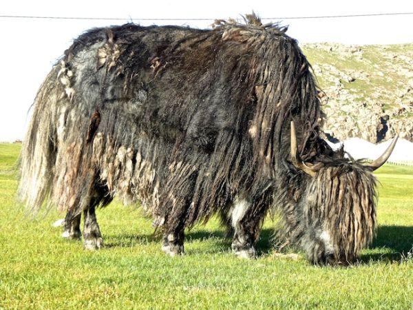 A Mongolian yak