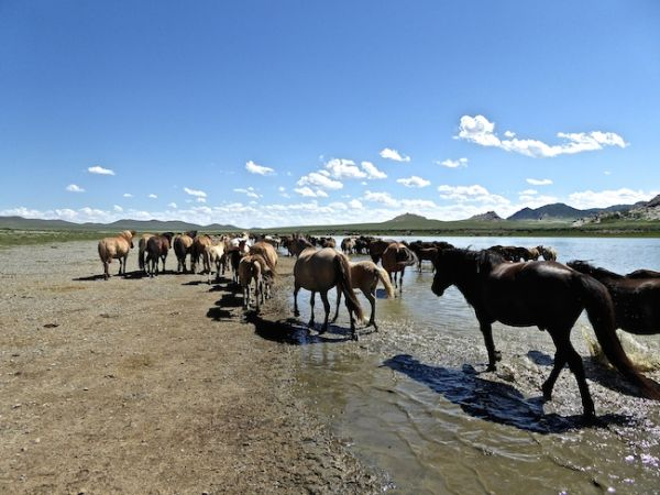 Horses bathing in the Gobi desert