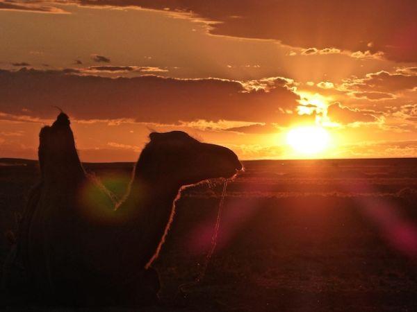 Un chameau admire le coucher de soleiil dans le désert de Gobi