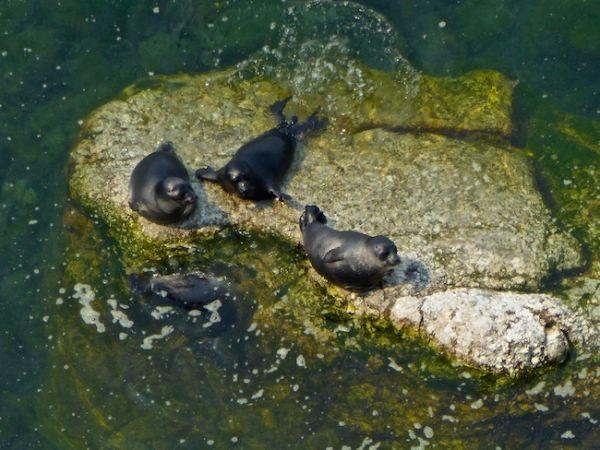 Les phoques font la bronzette près du cap Kholboi sur le lac Baïkal