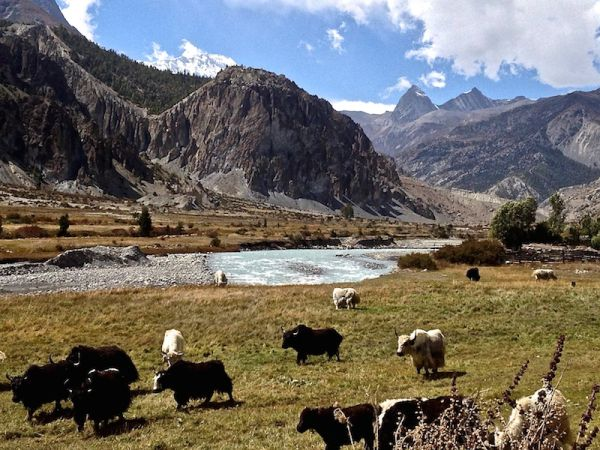 Yaks near Manang village