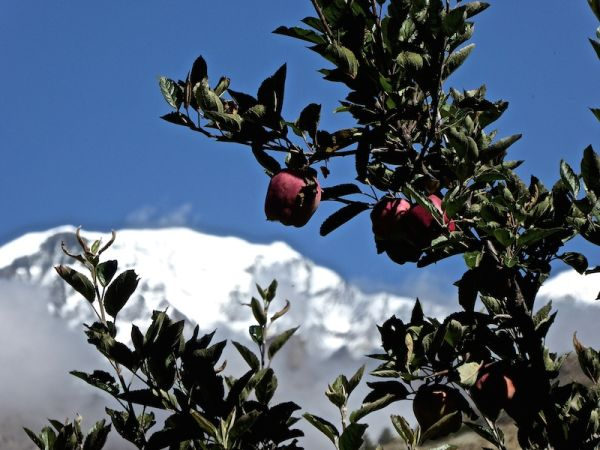 Apple trees are everywhere on the Annapurna circuit