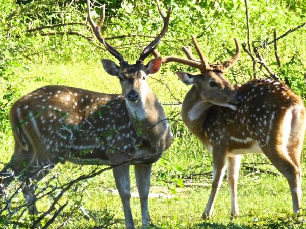Spotting Bambi on our Sri Lankan safari
