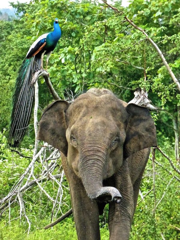 A photogenic elephant posing with a peacock