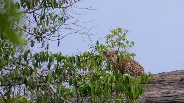 Spotting leopards at Udawalawe National Park