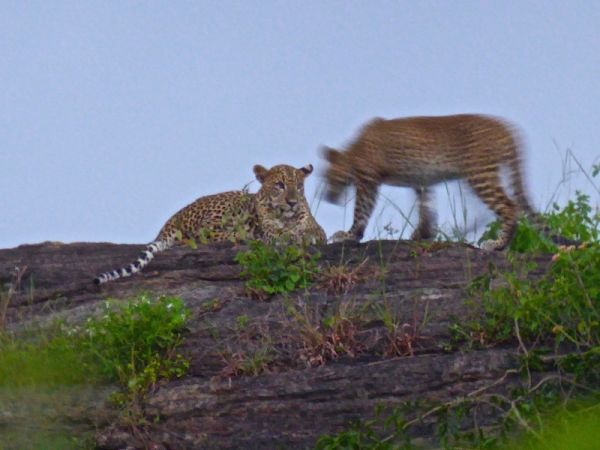 Spotting these two young leopards playing
