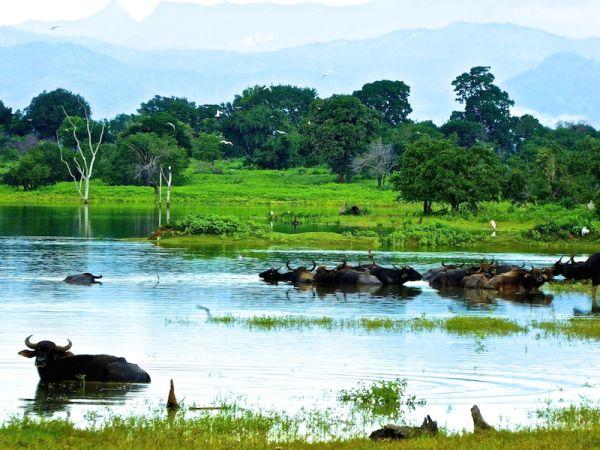 Water buffaloes at Udawalawe
