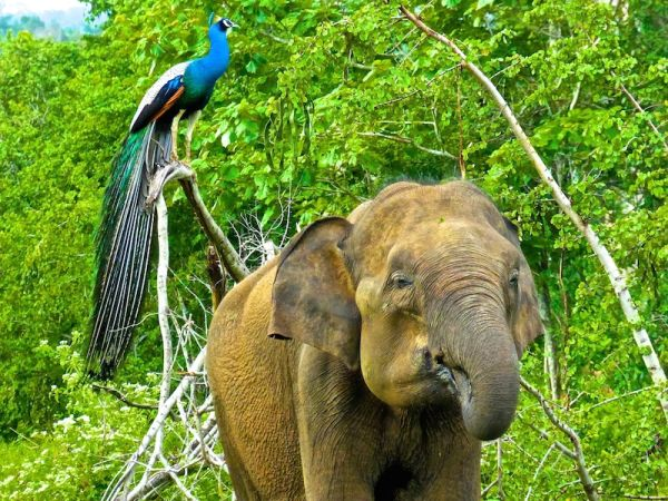 This peacock and elephant posed for us