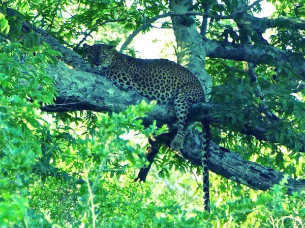 A young leopard resting on a tree branch