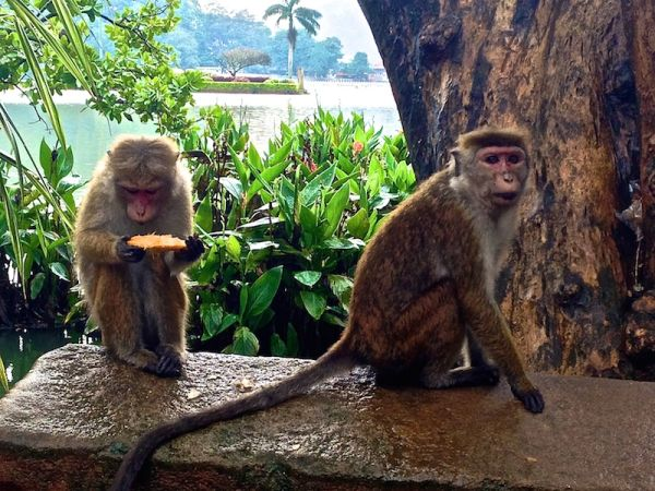 Cheeky monkeys in Kandy