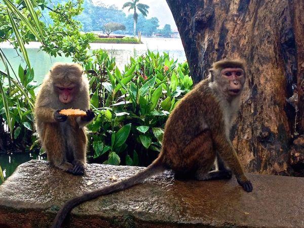 Cheeky monkeys in Kandy