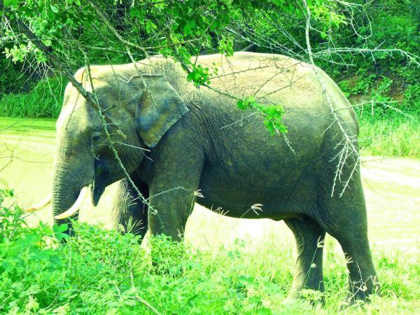 Male elephant with tusks at Yala