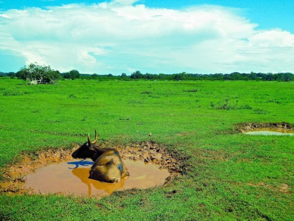 Water buffaloes bathing at Udawalawe