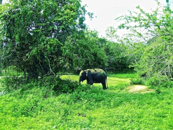 Elephant at Yala munching through the dense vegetation