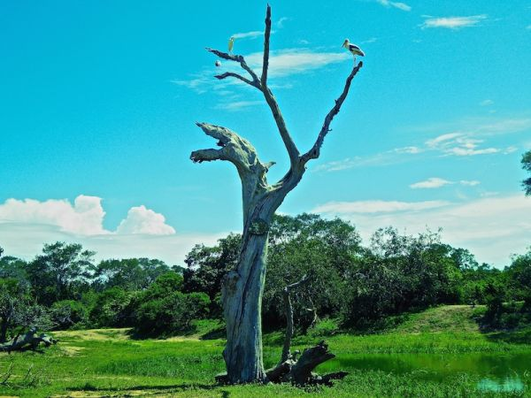 Tree with stalk at Udawalawe