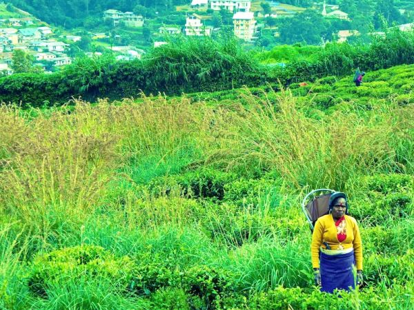 Tamil worker in the tea plantations near Nuwara Eliya