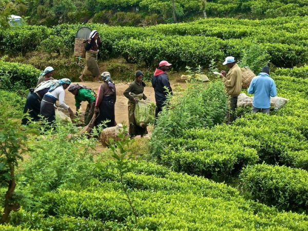 Tamil worker in the tea plantations