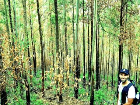 You'll come to a beautiful eucalyptus forest before the hike to Ella Rock starts to get steeper