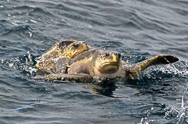 Turtles mating on the water surface