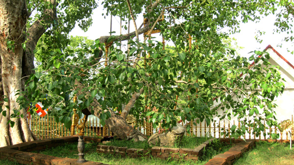 The Jaya Sri Maha Bodhi tree in Anuradhapura, Sri Lanka