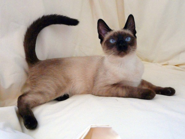 Siamese cat one of interesting facts about thailand