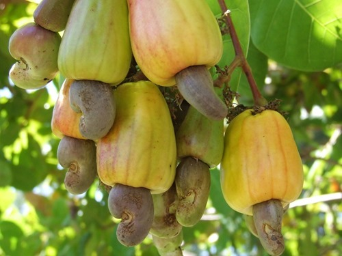 interesting facts about Vietnam largest cashew nut exporter