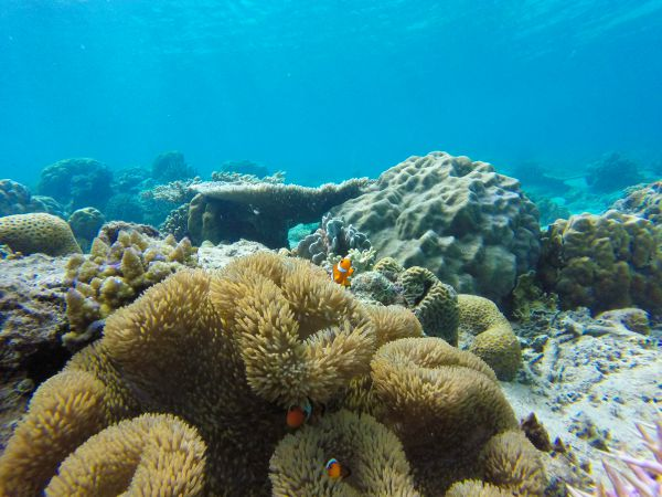 Clown fish and their anemone in El Nido while snorkeling