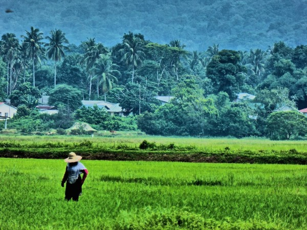 Cycling tour through Langkawi paddy fields