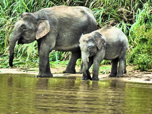 Esmeralda the Pygmy Elephant grazing with family
