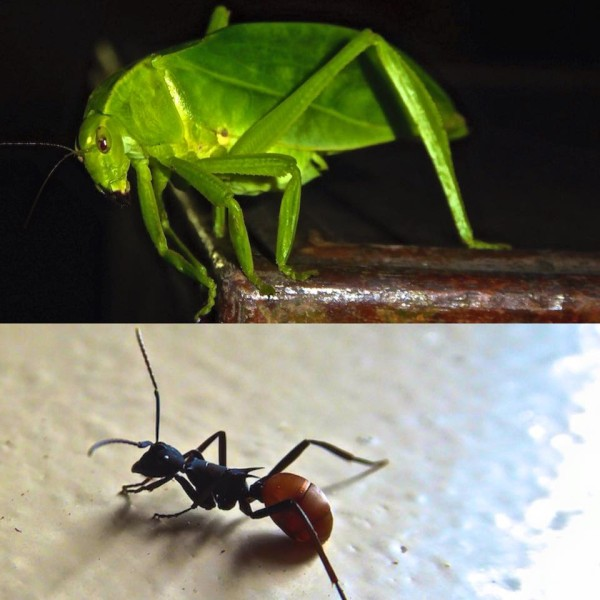 Bugs on steroids: grasshopper and giant ant