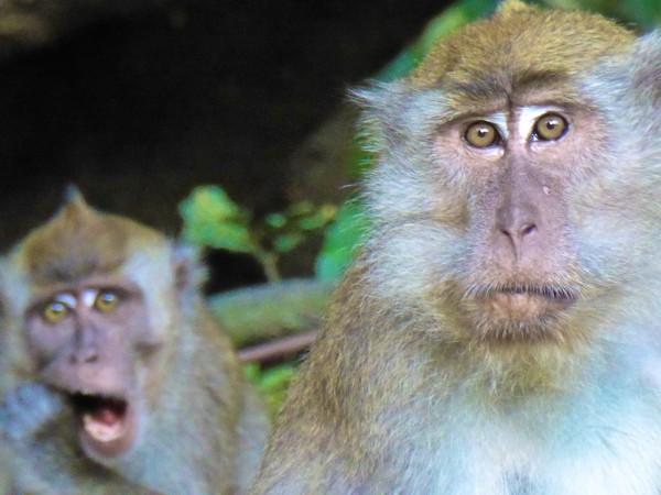 Melody the Macaque monkey photo bombing at the Kinabatangan River