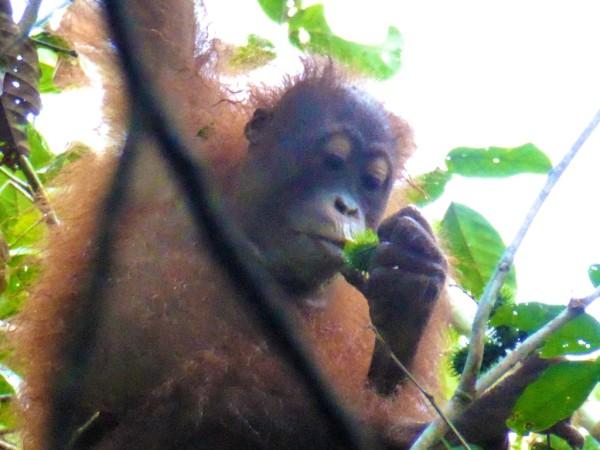 Oivia the Orang-Utan eating rambutan
