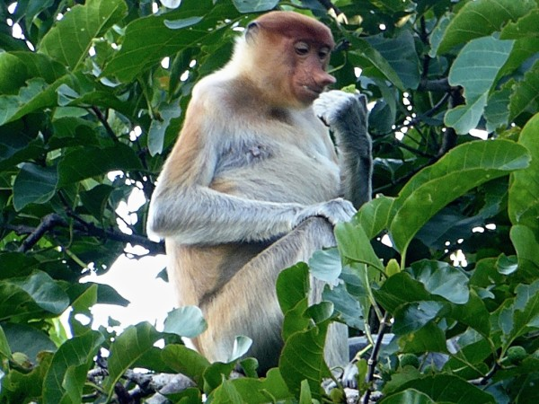Patricia the Proboscis Monkey