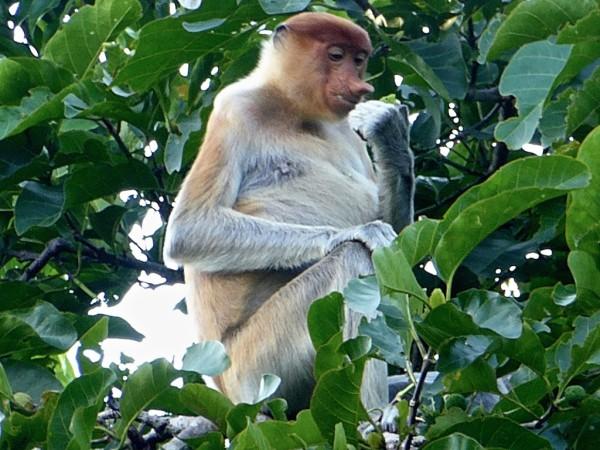 Patricia the Proboscis Monkey