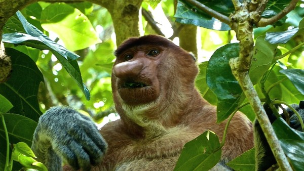 Proboscis male monkey spotted