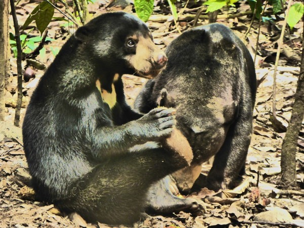Sun Bear Conservation Centre in Sepilok