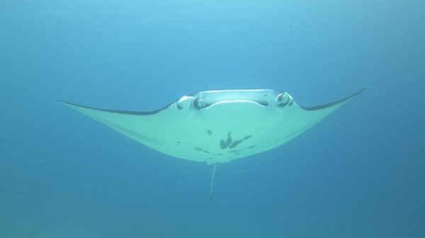 Manta Ray during our scuba dive on our liveaboard in Komodo National Park
