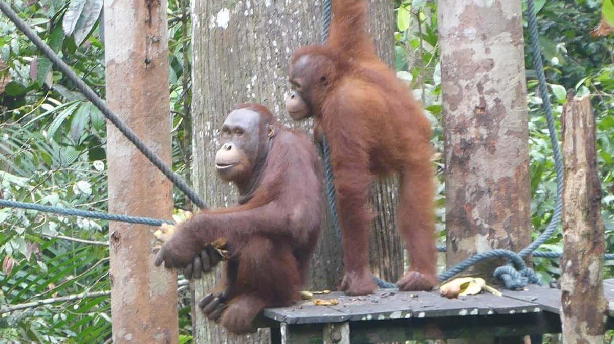 Orang utans at the Semenggoh Wildlife Centre in Kuching