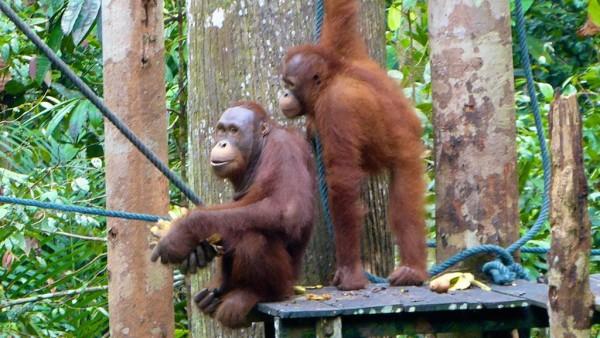Orang-utans at Semenggoh, Sarawak Malaysia