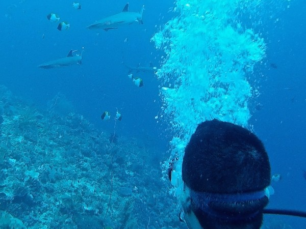 Spotting reef sharks while diving at the Komodo National Park Flores Indonesia