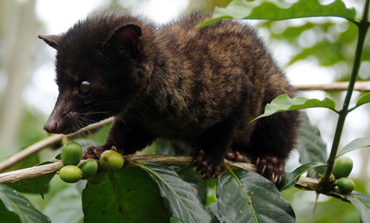 Civet coffee a delicacy best avoided in Indonesia