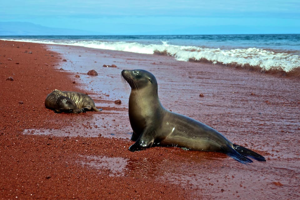 Rabida island sea lion galapagos luxury cruise