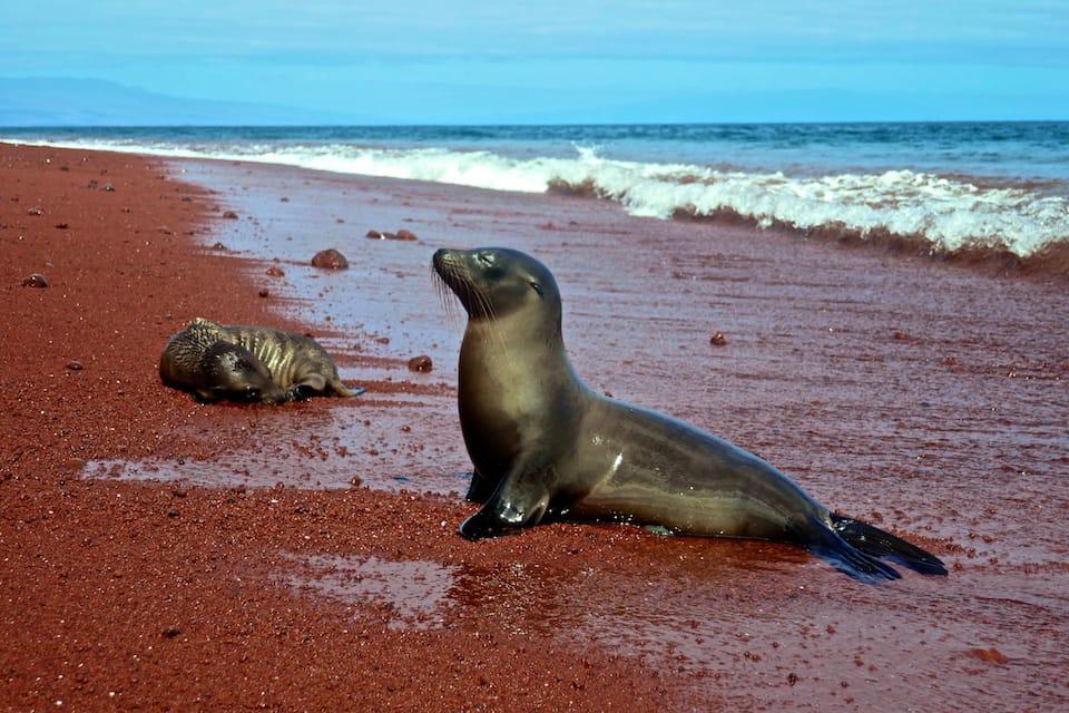 Rabida island sea lion galapagos luxury cruise