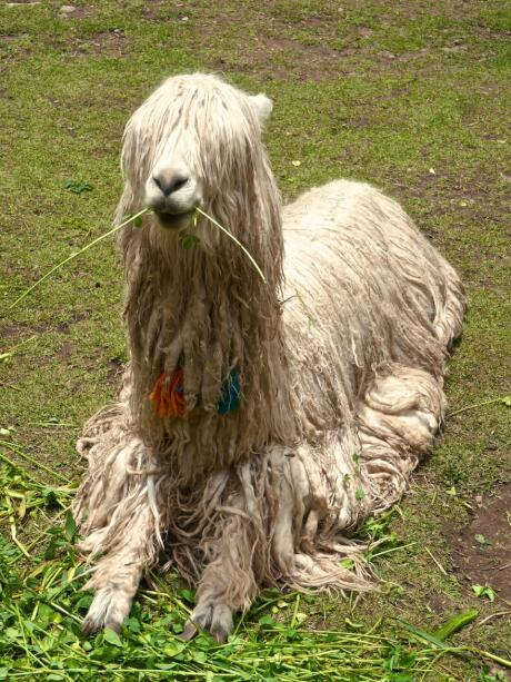 Alpaca Inca heritage and one of 10 interesting facts about Peru