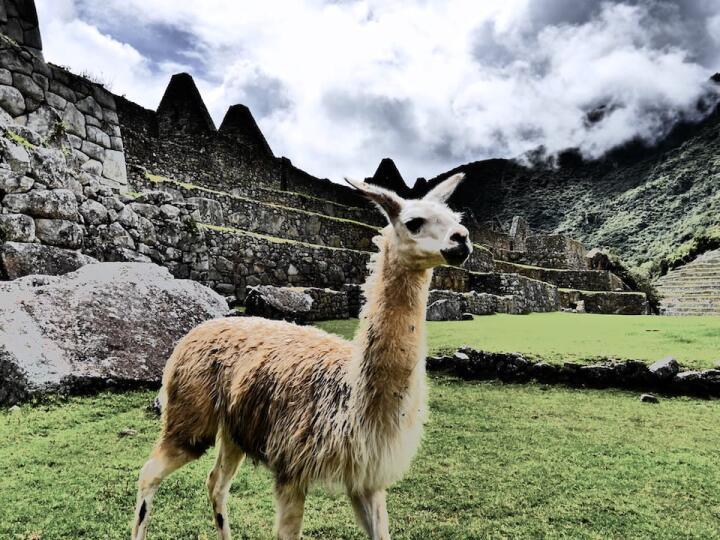 Llama inca heritage and interesting facts about Peru