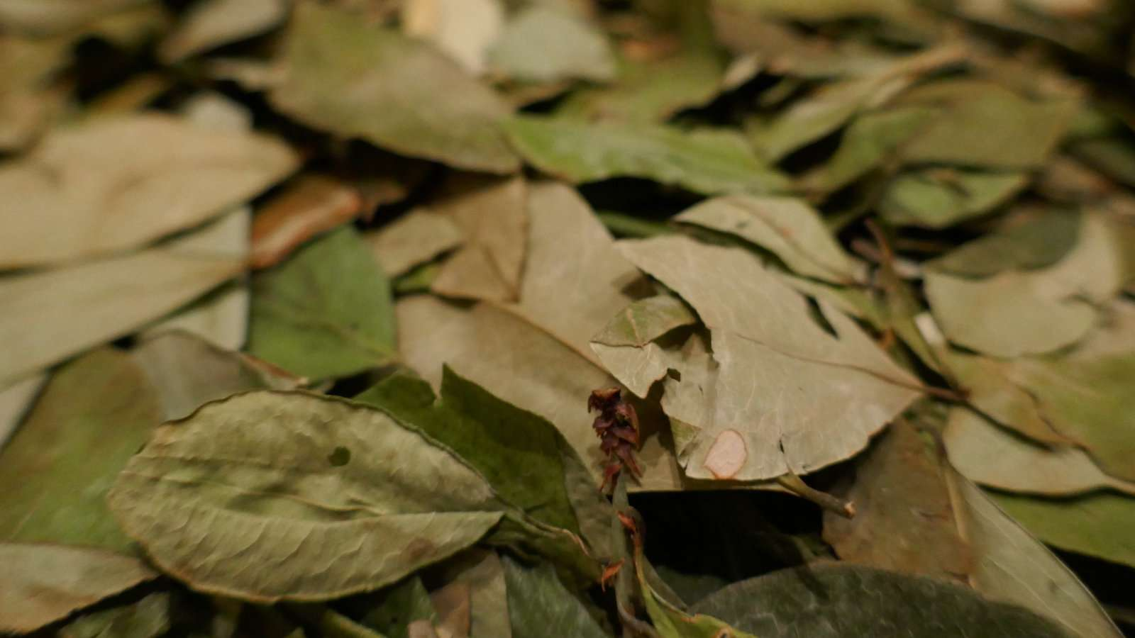 Coca leaves might be where cocaine comes from but the leaves themselves are good for you